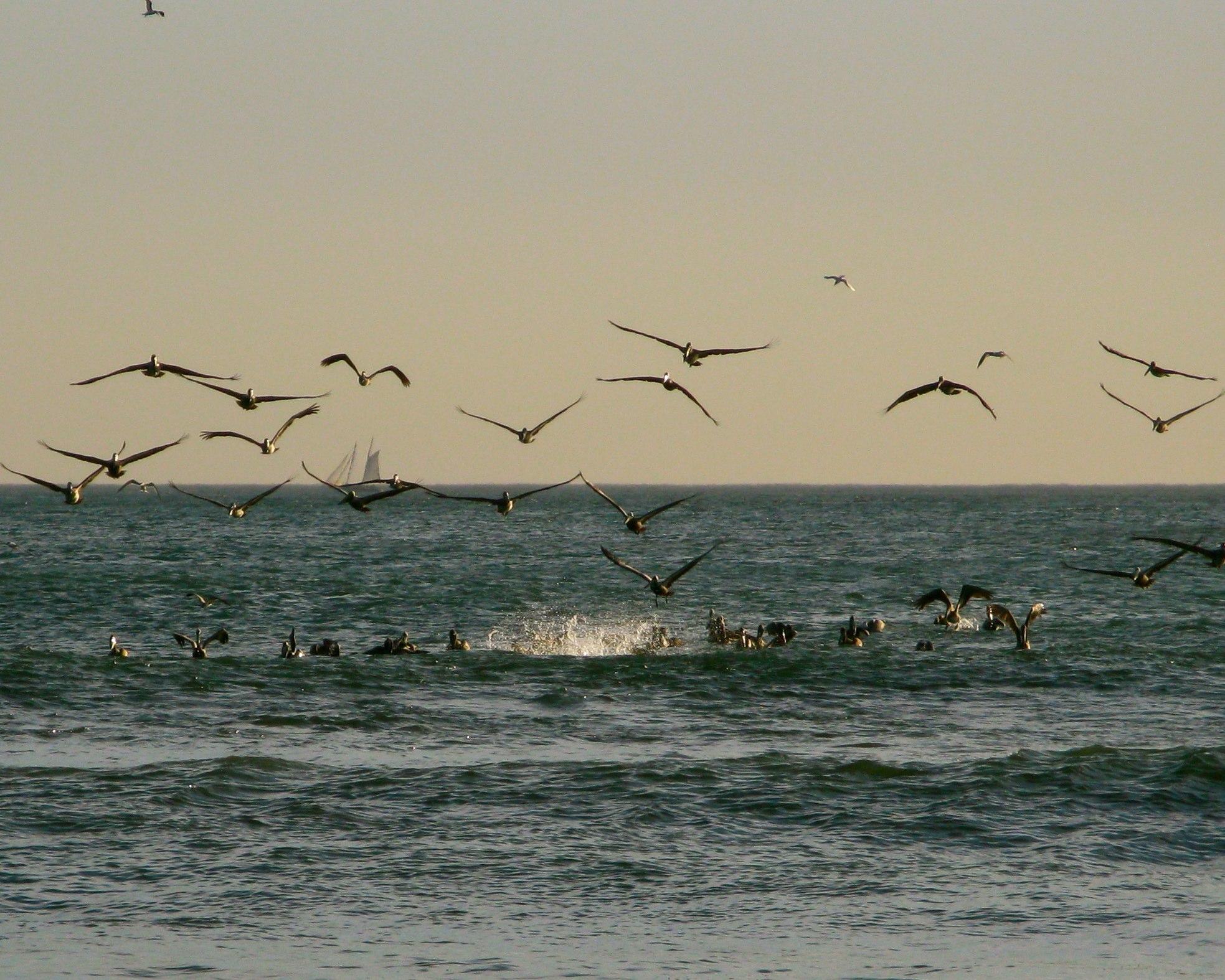Posse of Pelicans | Playa Grande