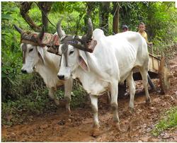 Oxen | Matapalo