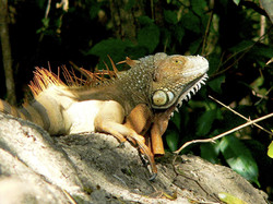 Iguana | Corobici River