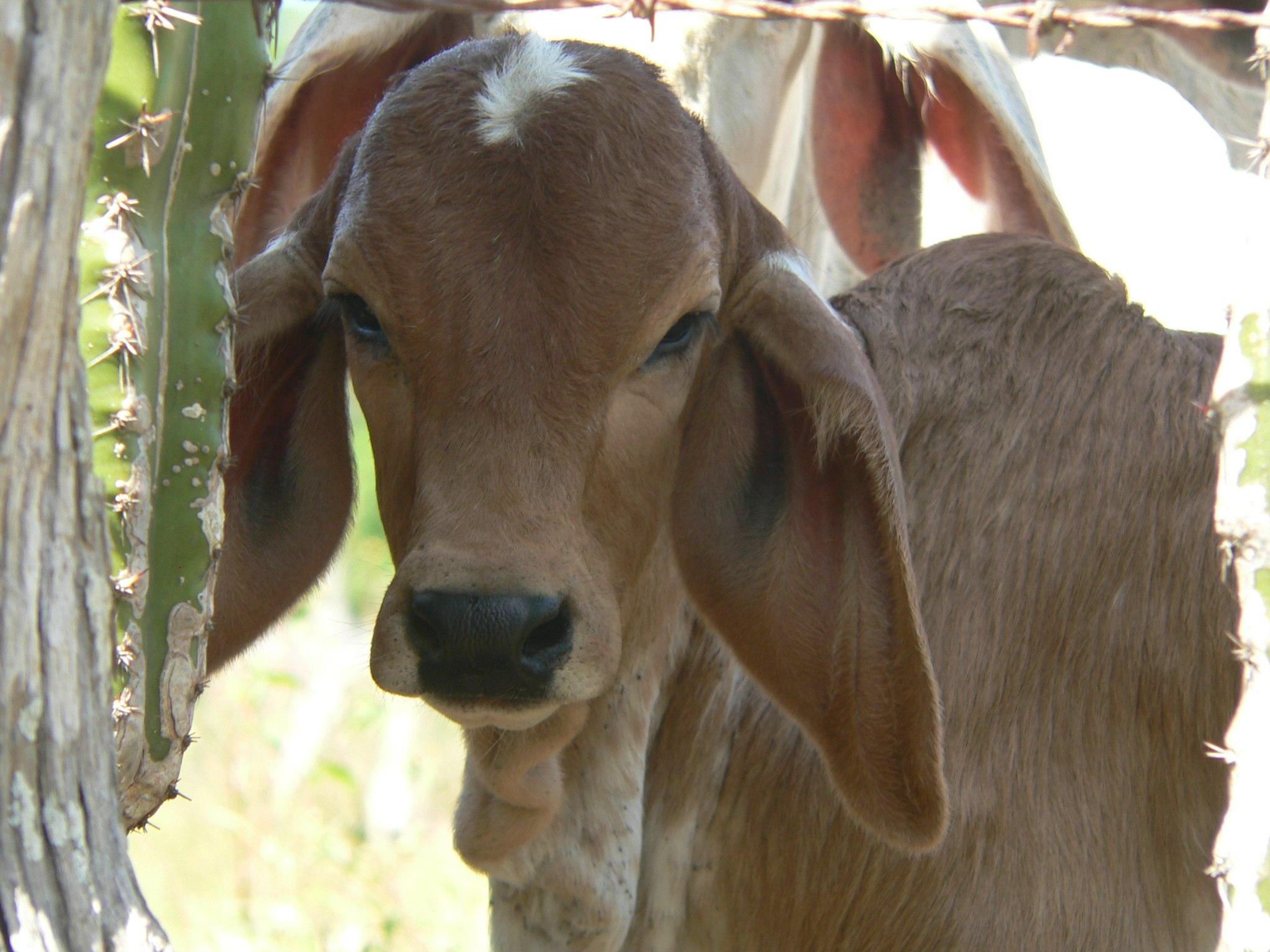 Baby Brahama | Costa Rica