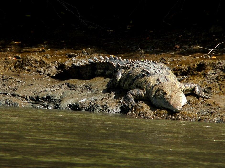 Crocodile | Tempisque River