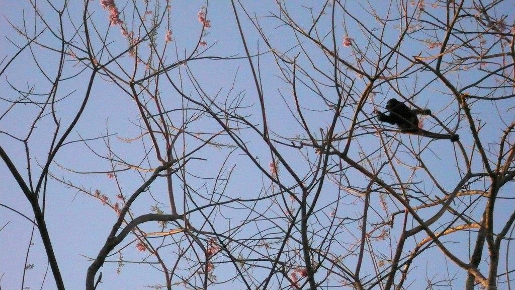Howler Monkey | Tamarindo