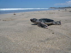 Leatherback Turtle | Playa Grande