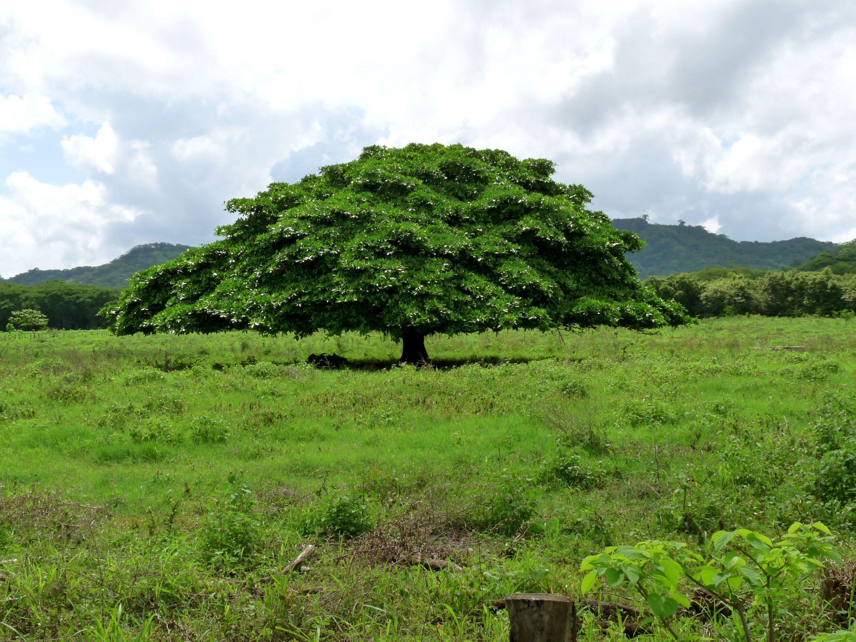 Guanacaste Tree | Guanacaste