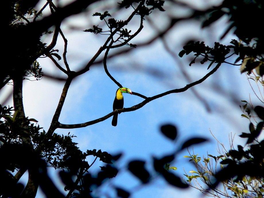 Toucan | Rincon De La Vieja