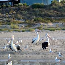 ONE KI- Pelicans