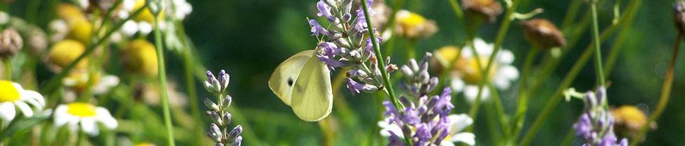 cabbage-white-on-lavender.jpg
