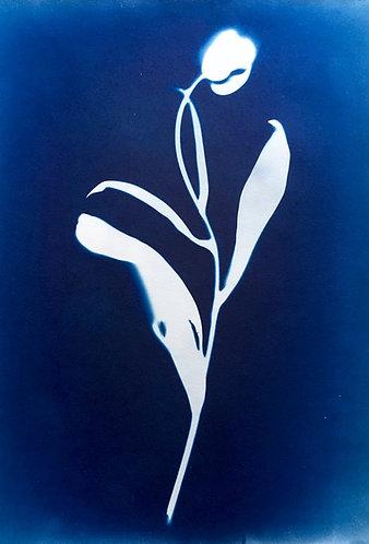 Cyanotypi-original : Enkel tulipan