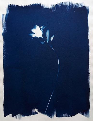 Cyanotypi-original : Lille, blød solsikke