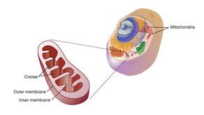 Mitochondrial Dysfunction in Fibromyalgia