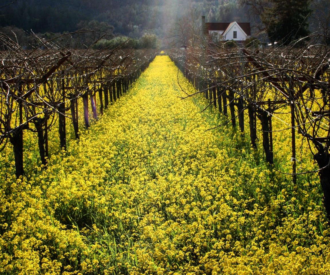 mustard field 2.jpg