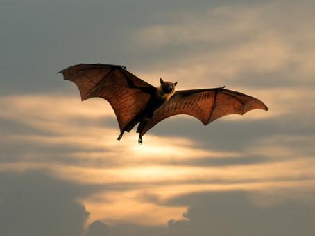 Discover Bats!