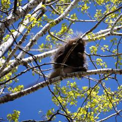 Long Lake spring porcupine aspen.jpg
