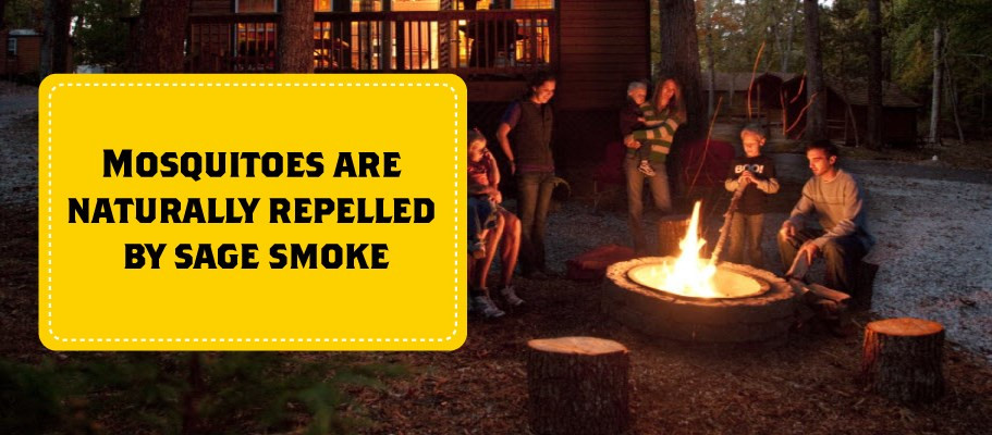 Lleve consigo algunos paquetes de salvia la próxima vez que vaya a acampar. Luego, cuando el sol se esté poniendo y la fogata esté encendida, quema un poco de salvia con tu fuego. O para un efecto más duradero, prenda fuego a la salvia y déjela arder y humear junto al borde de la fogata. Los mosquitos son repelidos naturalmente por el humo de la salvia, y encontrarás muchos menos zumbando a tu alrededor.