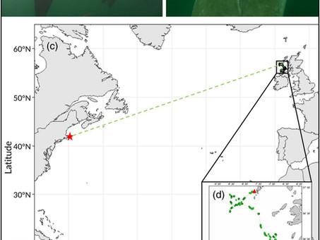 A Serendipitous Re-sighting: Transatlantic shark links Ireland, Scotland and USA.
