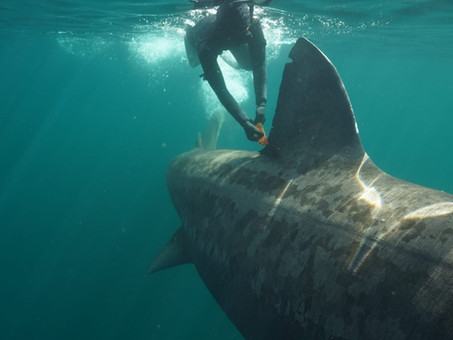 Tagged Basking Shark Re-sighted between Ireland and Scotland