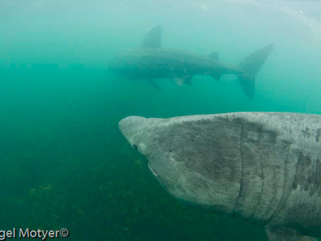 Basking Sharks Sighted (and Social Distancing Recommended)