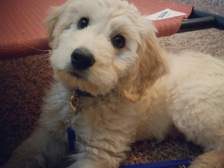 Attention! The Basis of All Puppy Training