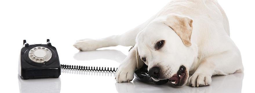 bigstock-Beautiful-labrador-dog-talking