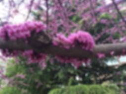 redbud flowers.jpeg