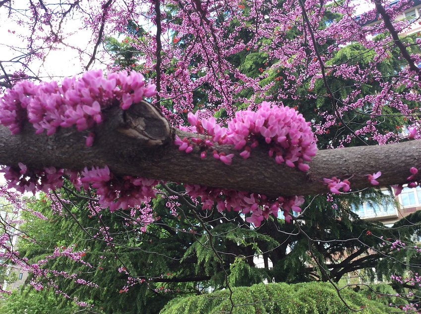 redbud flowers.jpeg