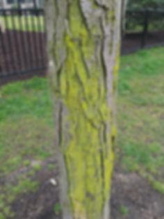 moss on honey locust march.jpg