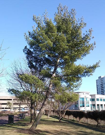 white pine march crop.jpg