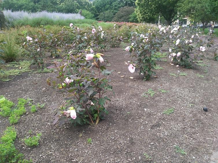 hibiscus 7.21.21.jpg