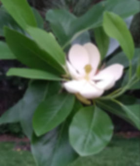 magnolia blosson june 8.jpg