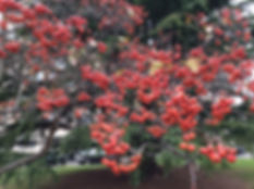 Hawthorn haws December.jpeg