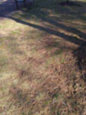 black pine sw needles on ground march.jp