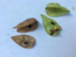 rain tree seed pods.jpeg