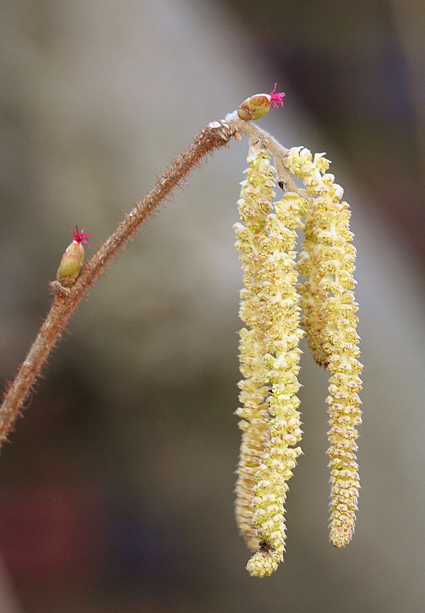 hazel nut flowers.jpeg