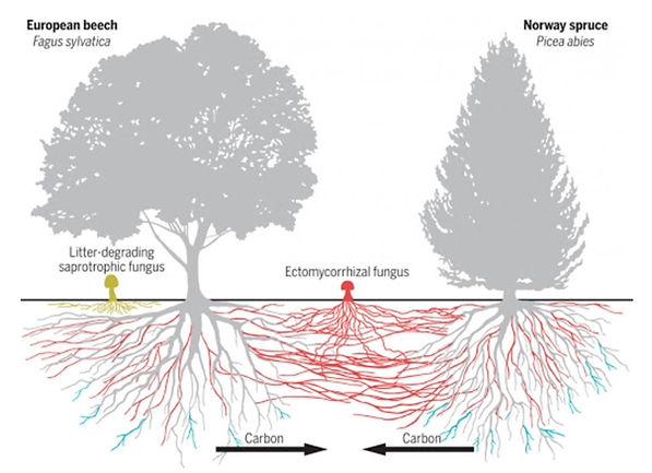 mycorrhizae.jpeg