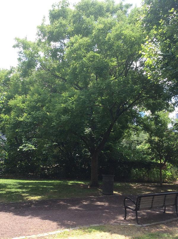 scholar tree sw.jpeg