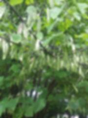 redbus seed pods.jpg