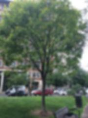 Golden Rain Tree.jpeg