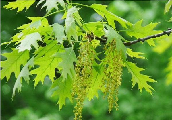 oak male flowers April.jpeg