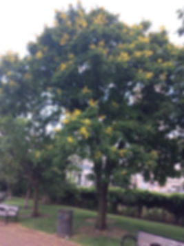 golden raintree se.jpeg
