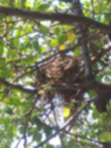 nest robin crabapple close.jpg