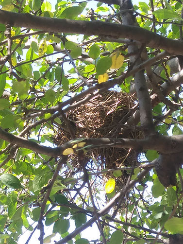 nest robin crabapple close.jpg