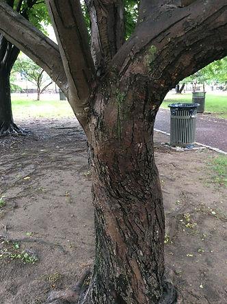 crabapple bark.jpeg
