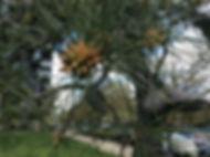 pitch pine male cones.jpeg