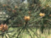 black pine sw april 15 male cones.jpeg