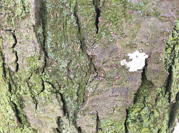 lichen on tree.jpeg