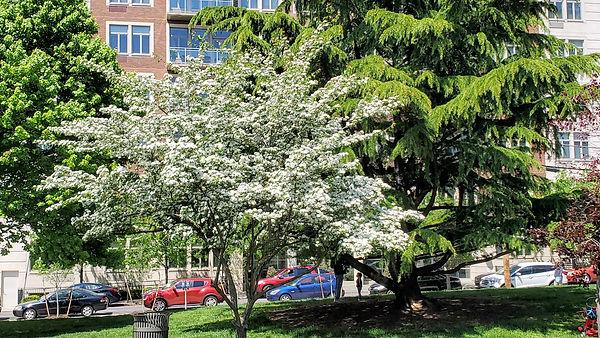 hawthorn in flower May 7.jpg