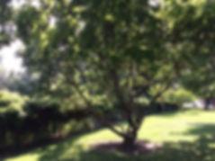 fringe tree se.jpeg