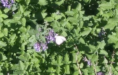 white moth in bee balm.jpg