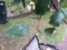 hawthorn thorns.jpeg