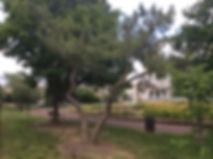 black pine nw.jpeg